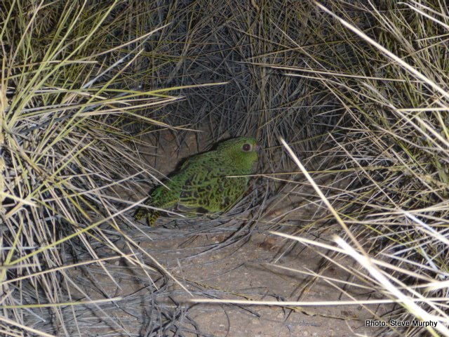 Adult female Night Parrot radio-tracked in 2015