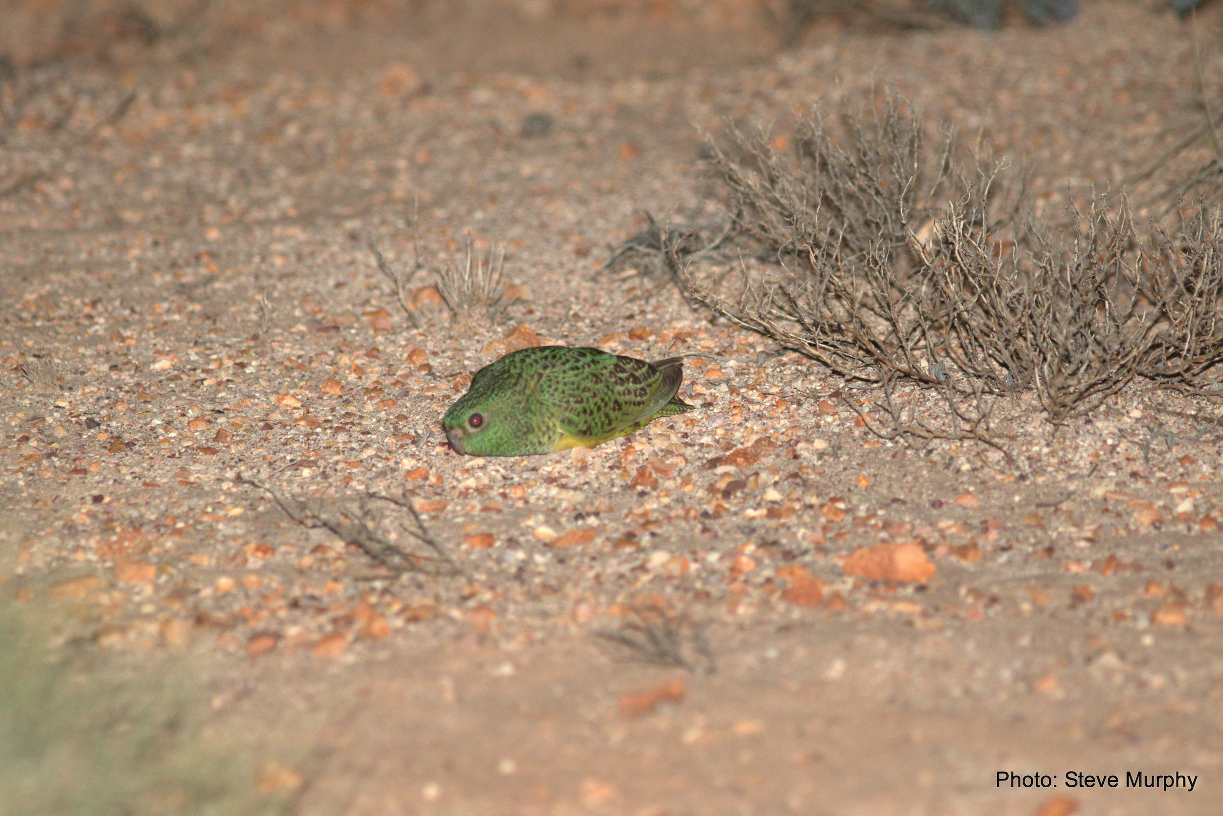 Crouched posture adopted by adult Night Parrot