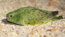 What's happening with Night Parrots in 2017
