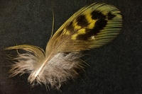 Night Parrot feather found in South Australia
